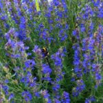 Ysop - Wirkung von Gewürz und Heilpflanze Bienenkraut