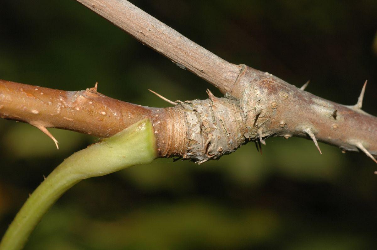 borstige-taigawurzel-ginseng-sibirischer