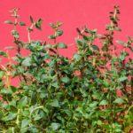 Wofür ist Thymian gut? Vorteile und Wirkung