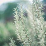 Rosmarin - Vorteile, Wirkung und Nebenwirkungen