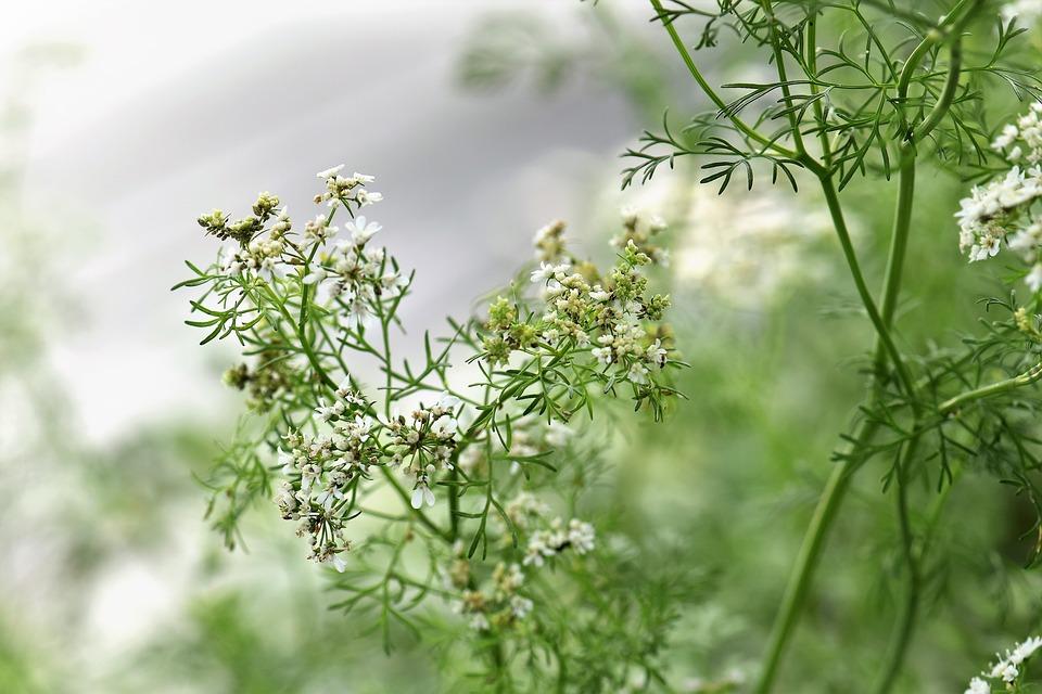 """Der Name Koriander (über lat. coriandrum von griech. koríandron/koríannon, """"Wanzendill"""") leitet sich aufgrund des Geruchs der Pflanze von den griechischen Wörtern kóris (für Wanze) und amon oder aneson (für Anis oder Dill)[1] ab.[2][3] Weitere Trivialnamen sind Arabische Petersilie, Asiatische Petersilie, Chinesische Petersilie, Gartenkoriander, Gebauter Koriander, Gewürzkoriander, Indische Petersilie, Kaliander, Klanner, Schwindelkorn, Schwindelkraut, Stinkdill, Wandläusekraut, Wanzendill, Wanzenkraut oder Wanzenkümmel."""