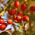 Hagebutte - 12 erstaunliche Vorteile für die Gesundheit