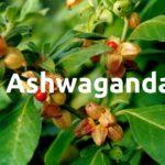 ashwagandha-pflanze-wirkung-anwendung-risiken