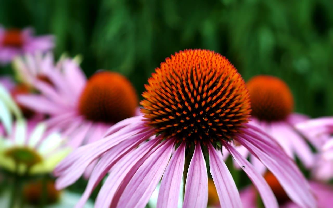 9 Vorteile und Verwendung von Echinacea - von Erkältungen bis hin zu Krebs