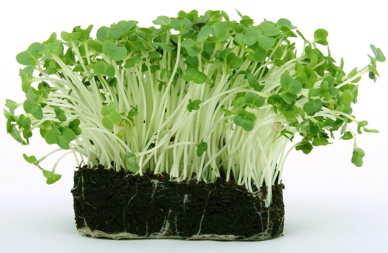 Gartenkresse - Vorteile, Nährstoffe, Verwendung und Dosierung