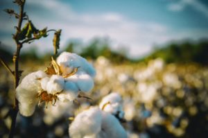 Ist Baumwollsamenöl gut oder schlecht für Sie? Was du wissen musst